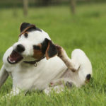 Black and white terrier dog scratching