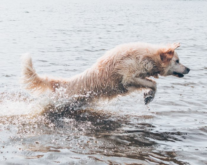 White dog jumping in lake