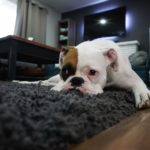 Bull dog flopped on carpet