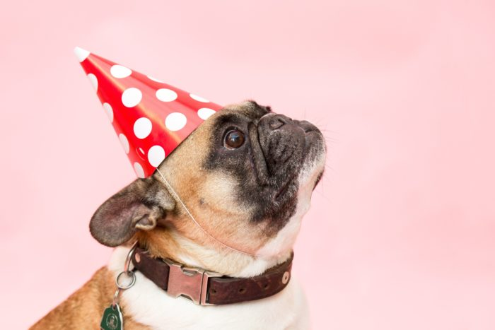 Pug with party hat and collar.