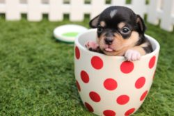 Chihuahua puppy in red dotted tea cup