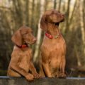 Two brown dogs looking at something