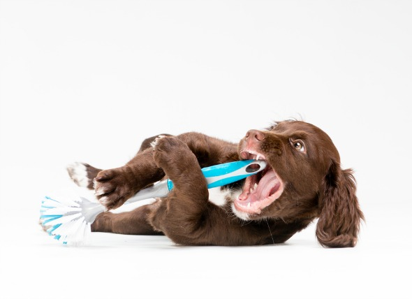Puppy chewing on dish scrub brush.