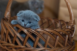 grey kitten in basket