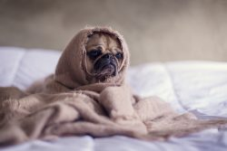 cuddle pug in blanket